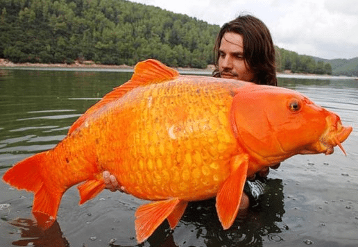 Big fish secret man fish love bassblaster for Biggest koi fish