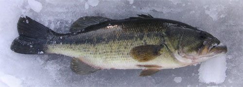 Nh limiting hardwater bass catches bassblaster for Ice fishing nh