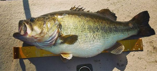 live-mounted-largemouth-bass-fishing-160209